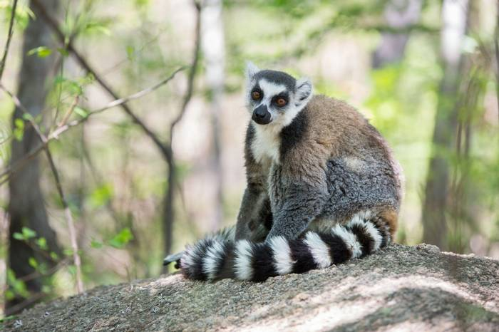 Ring Tailed Lemur (Aniket Sardana)