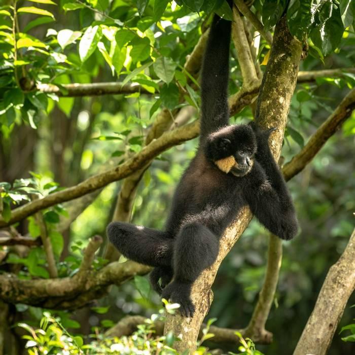 Yellow-cheecked Gibbon, Cambodia shutterstock_1266664114.jpg