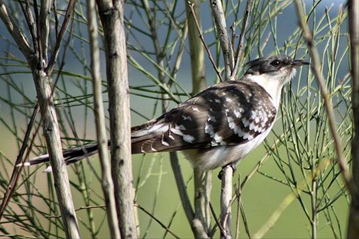 Great-spotted Cuckoo (Tom Mabbett)