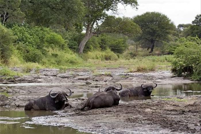 Cape Buffalo (Leon Marais)