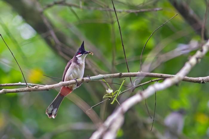 Red-whiskered Bulbul, Cuc Phuong National Park, Vietnam shutterstock_1083102434.jpg