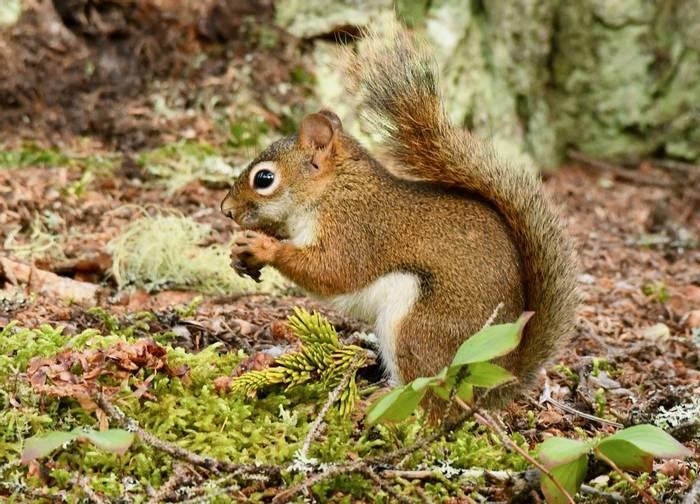 American Red Squirrel (Adam Dudley).jpeg