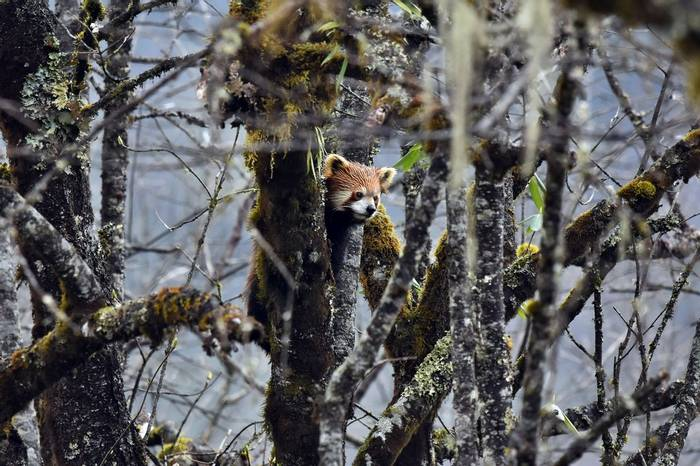 Red Panda, China Shutterstock 1077239162 (1)