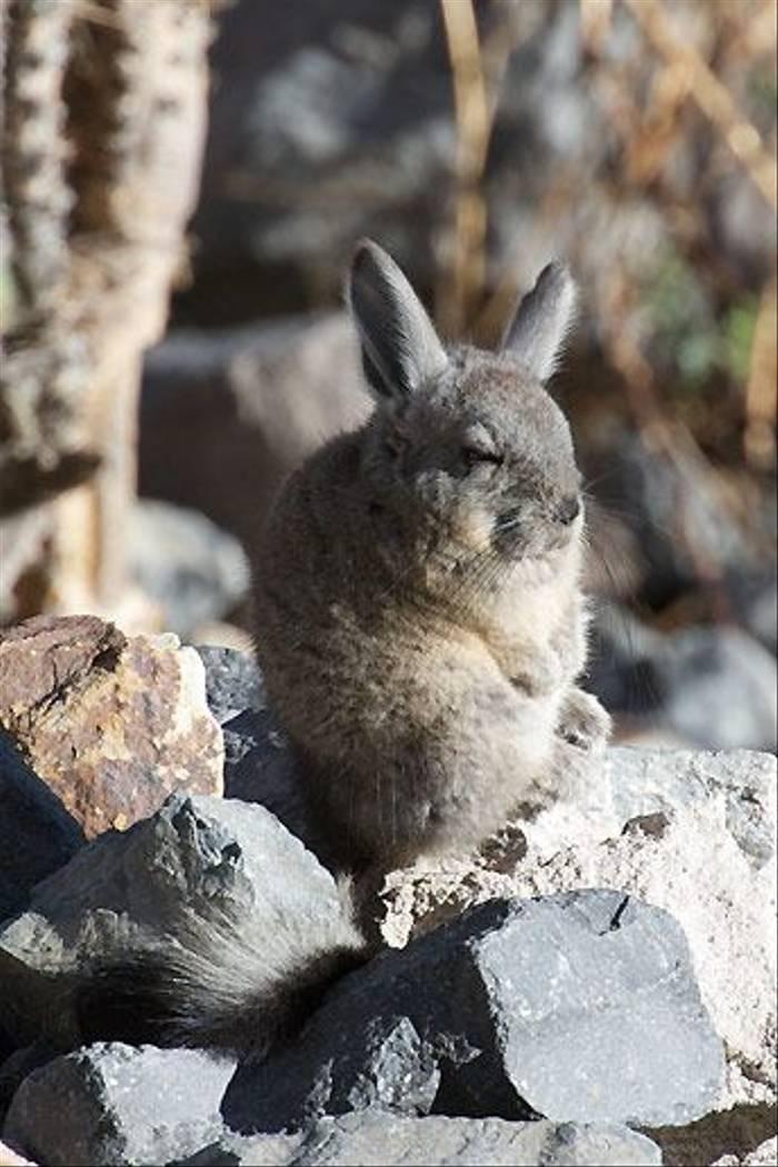 Vizcacha, Colca Canyon (David Allison)