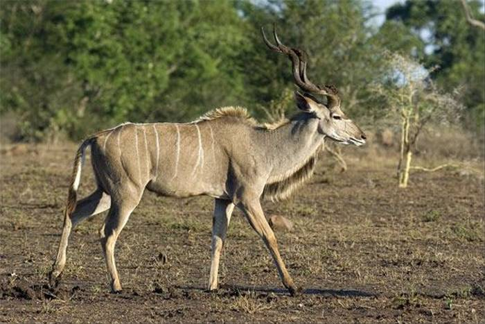 Greater Kudu (Leon Marais)