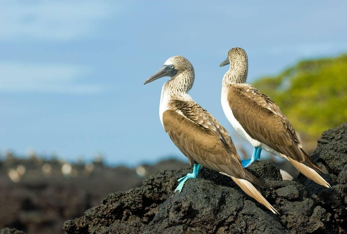 Blue Footed Booby, Ecuador & The Galapagos Shutterstock 26015761