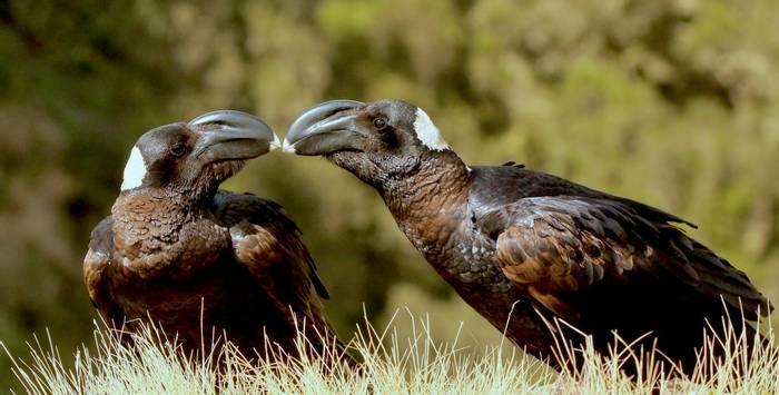 Thick-billed Raven couple.jpeg