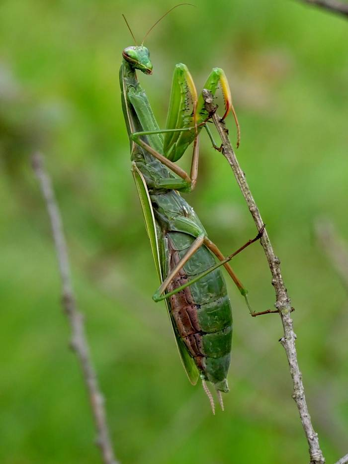 Praying Mantis (Alison McCormick).JPG