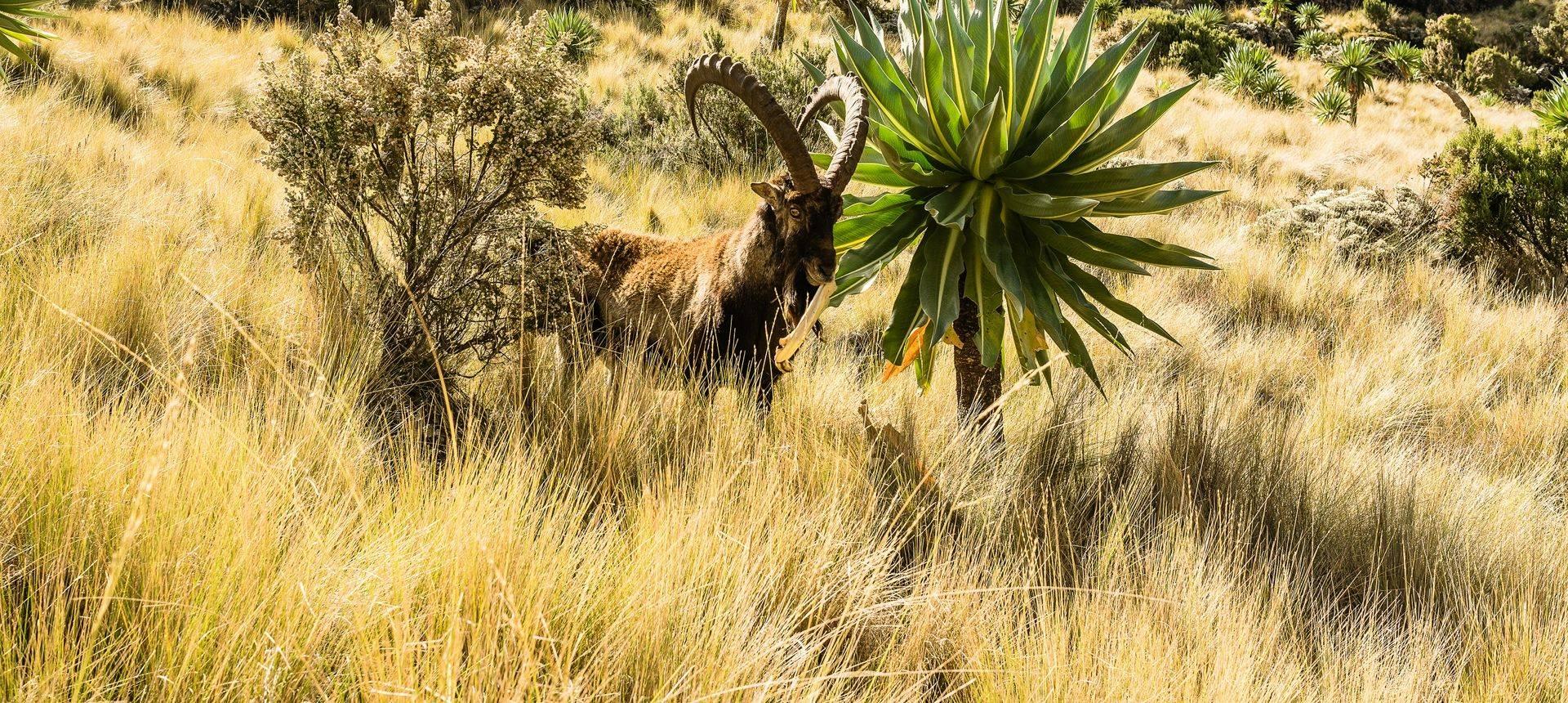 Walia Ibex, Simien Mountains, Ehtiopia Shutterstock 486651760