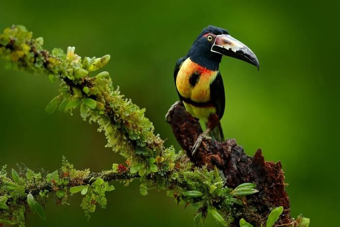 Collared Aracari, Pteroglossus torquatus, Boca Tapada, Laguna de Lagarto Lodge, Costa Rica shutterstock_606790991.jpg