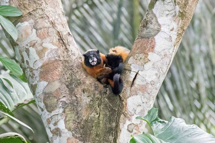 Golden-mantled Tamarin (Chris Hutchinson)