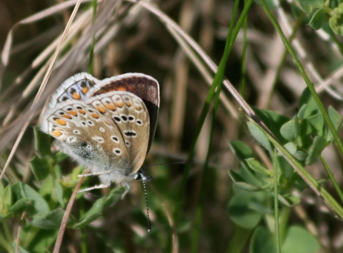 Small_Blue_Butterfly.jpg