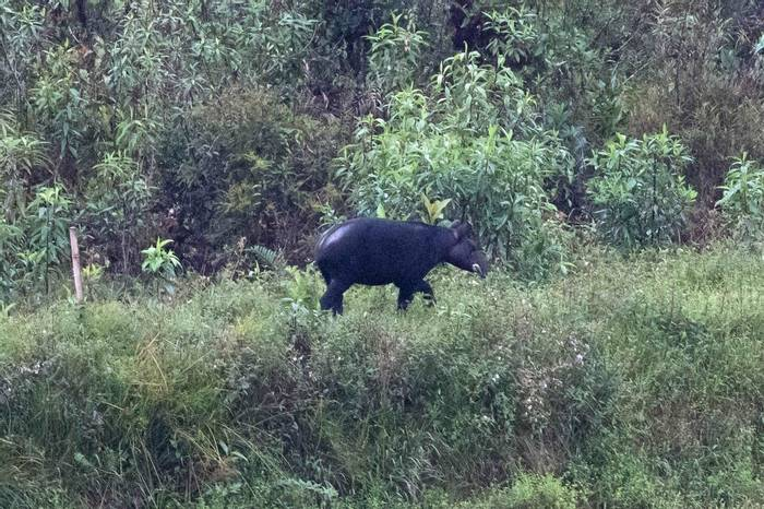 Mountain Tapir (Chris Hutchinson)