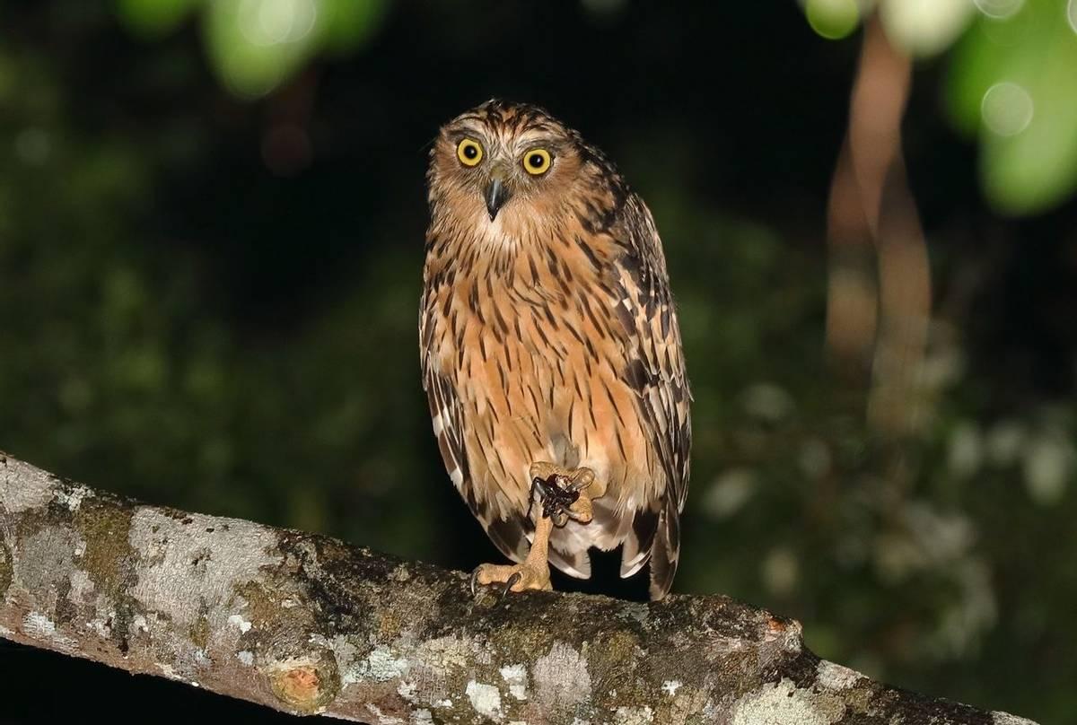 Buffy Fish Owl (Andy Hawkins)