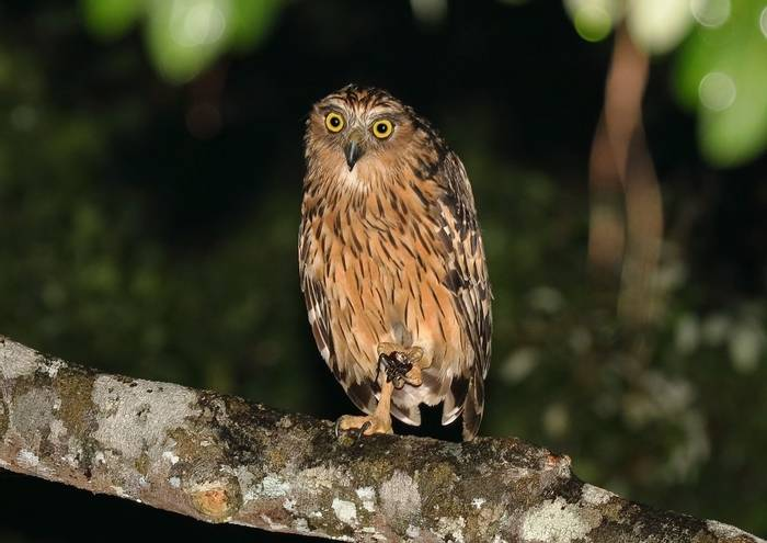 Buffy Fish Owl (Andy Hawkins)