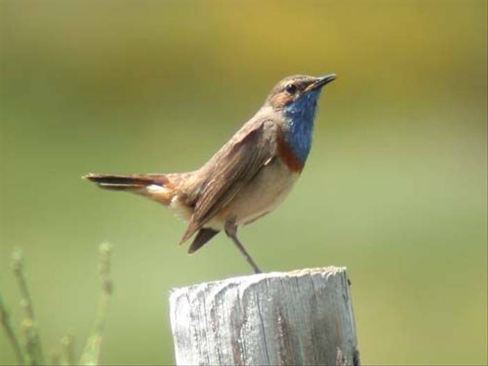 Bluethroat (David Morris)