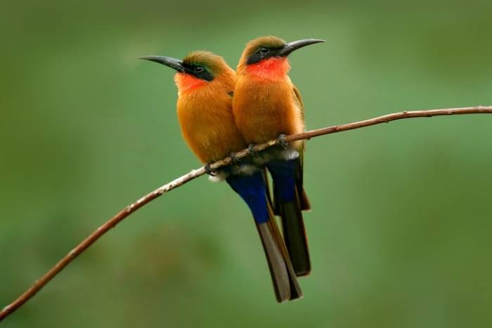 Red-throated Bee-eater shutterstock_707080738.jpg