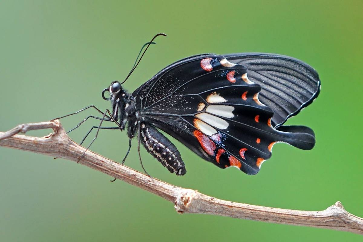 Common Mormon Butterfly Shutterstock 784825129