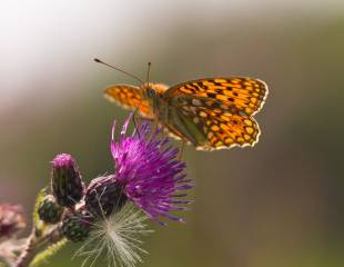France - Butterflies of the Pyrenees