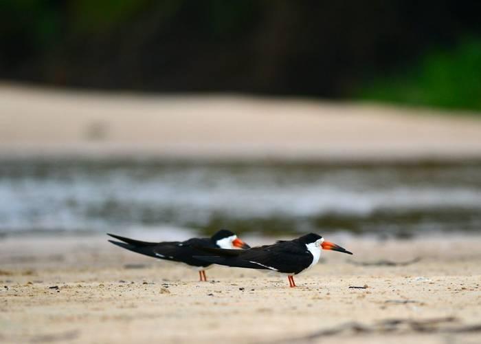 Black Skimmers (Stephen Woodham)