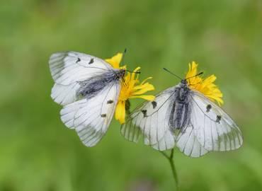 Butterflies of Croatia