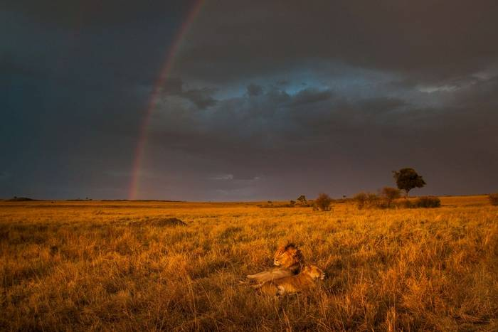 The male and female lion had been mating intermittently for most of the afternoon in the Masai Mara, Kenya. As they rested i…