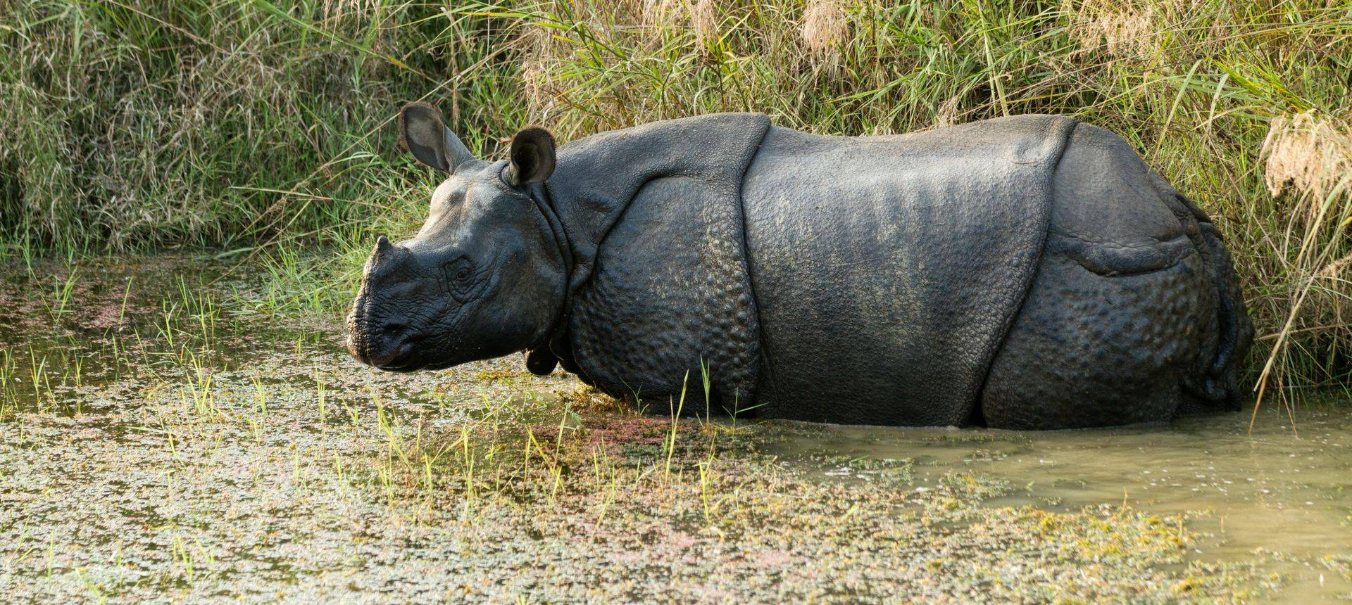 Wild Rhino (In Chitwan NP, Nepal) Shutterstock 69082825