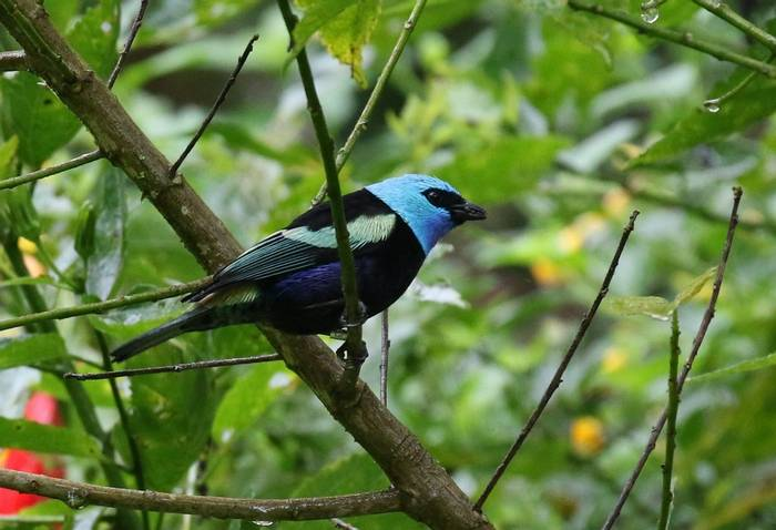 Blue Necked Tanager (Robin Smith)