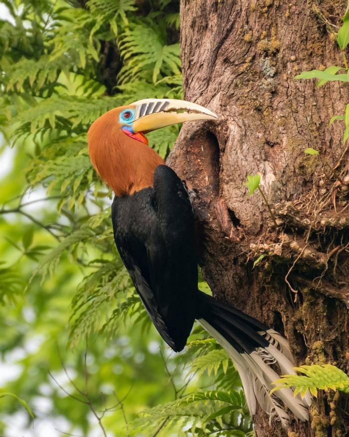 Rufous-necked Hornbill, Bhutan shutterstock_1509324029.jpg