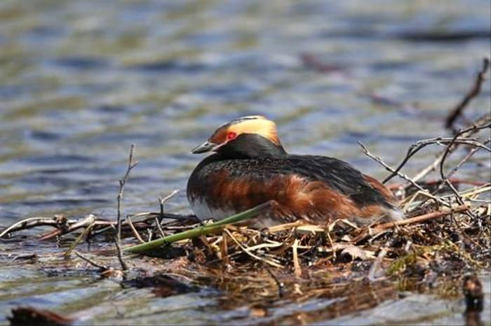 Slavonian Grebe (Gordon Small)