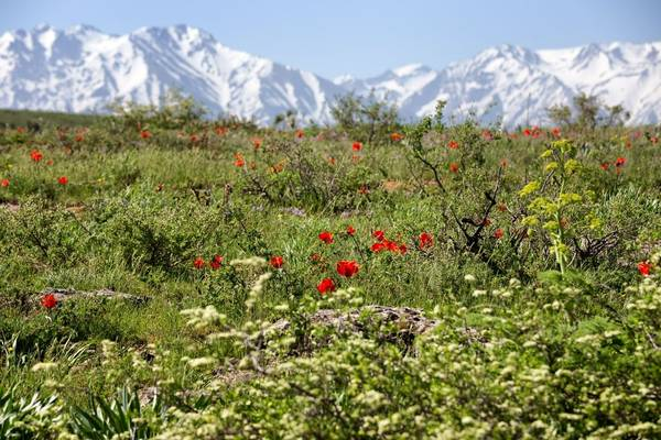 Tulip Meadows Of Kazakhstan And The Tien Shan Mountains Shutterstock 228801508