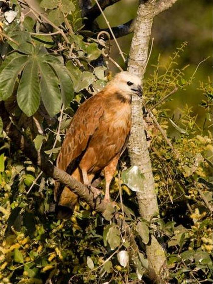 Black-collared Hawk (Mike Galtry)