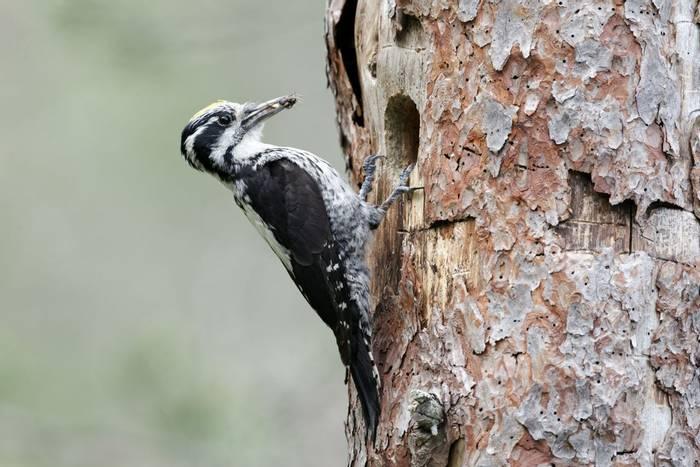 Three-toed Woodpecker. shutterstock_107733866.jpg