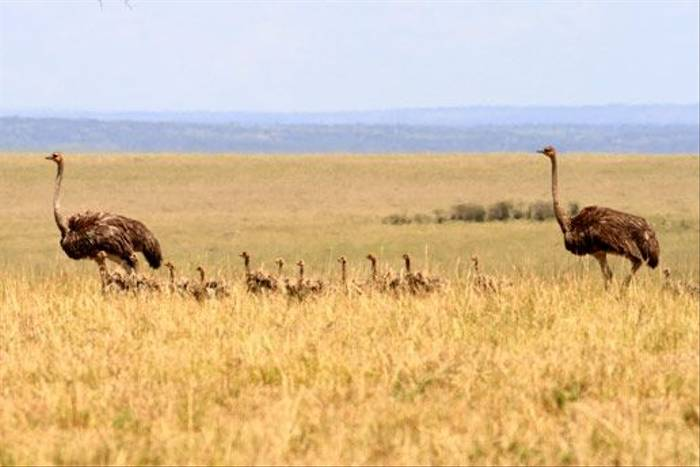 Ostriches with chicks (Bret Charman)