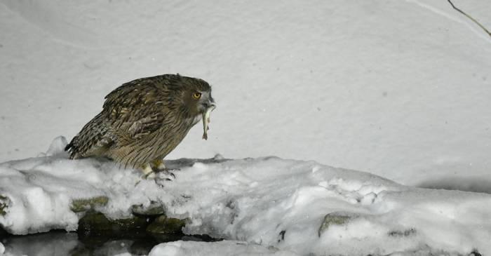 Blakinston's Fish Owl