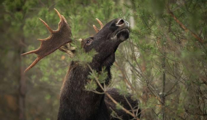 Elk,-Sweden-shutterstock_736243117.jpg