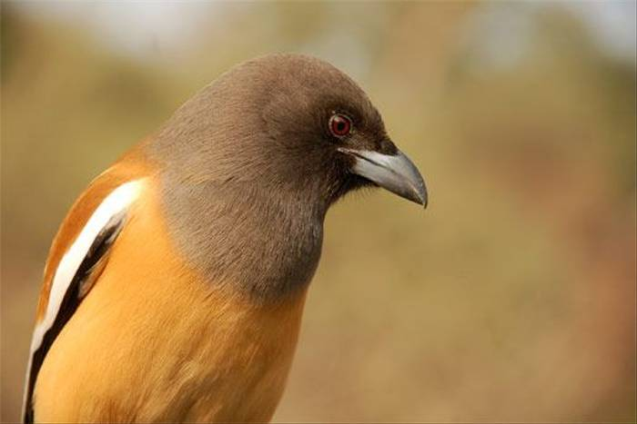 Rufous Treepie (Peter Johnson)