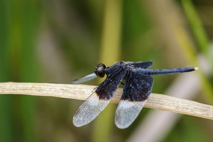 Pied Paddy Skimmer dragonfly, Sri Lanka shutterstock_677566693.jpg