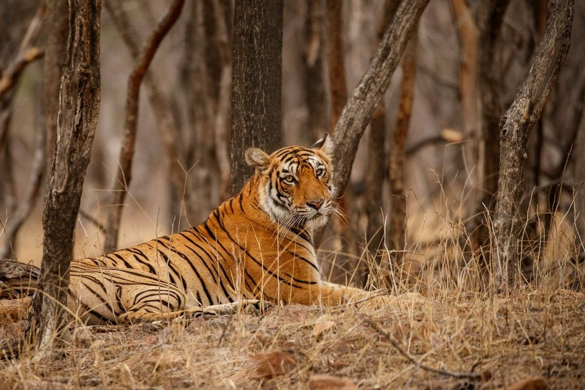 Bengal Tiger, India Shutterstock 650108779