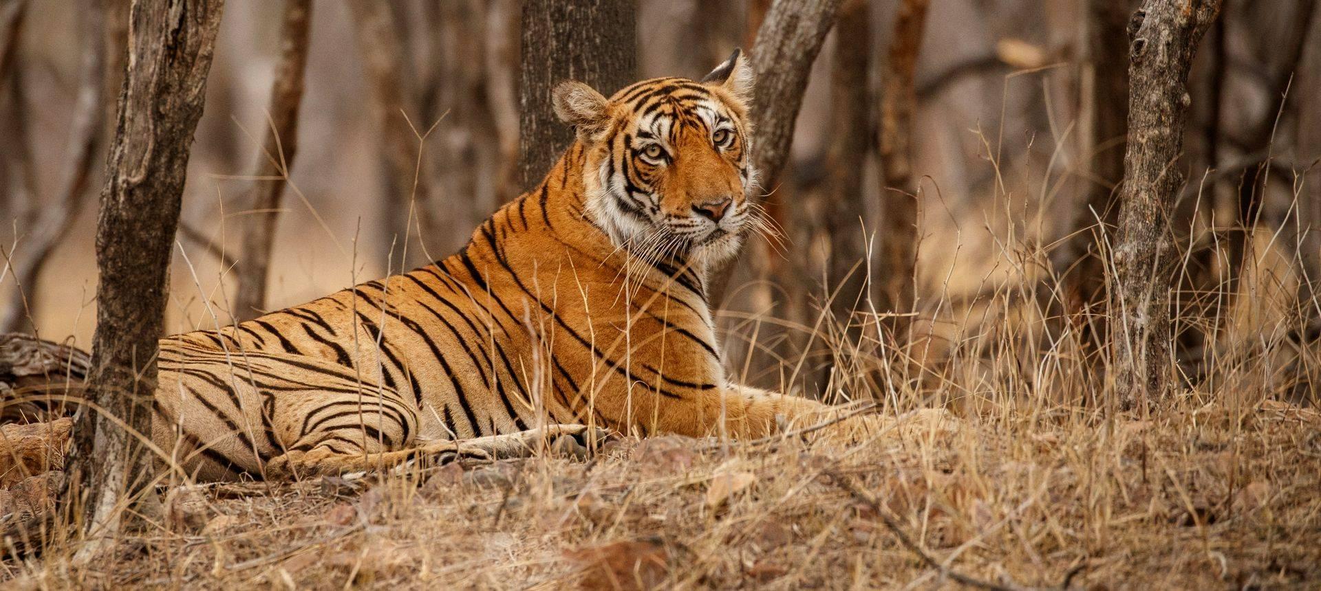 Bengal Tiger, India Shutterstock 650108779