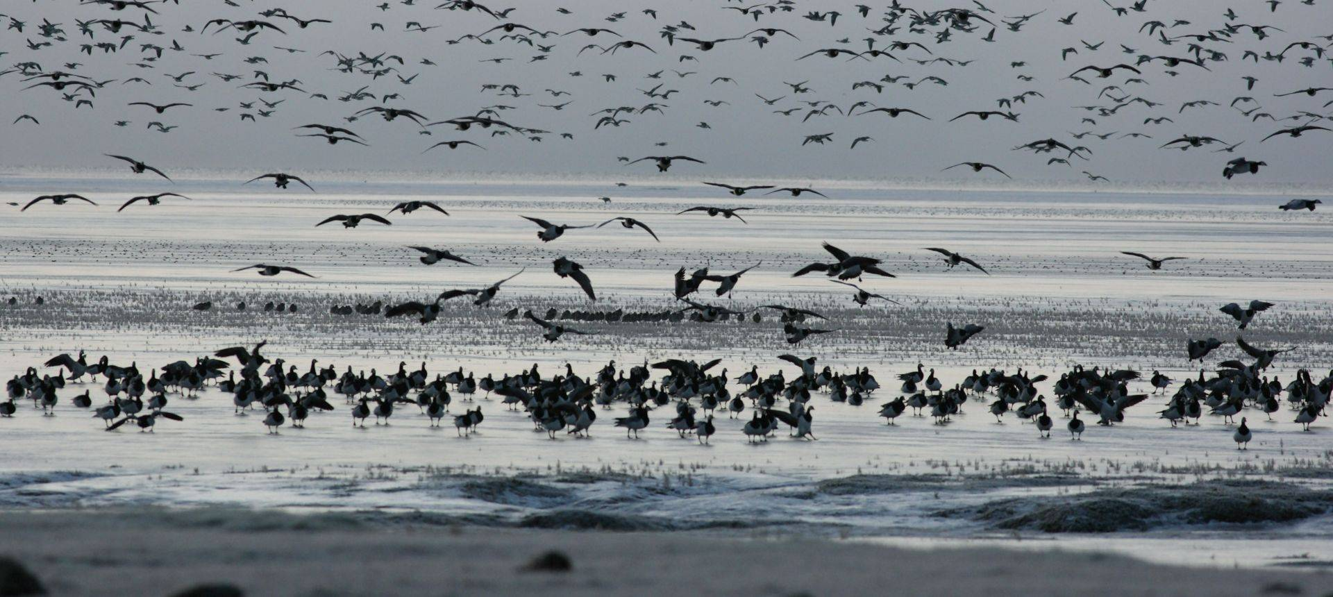 Barnacle Geese. Shutterstock 148916678