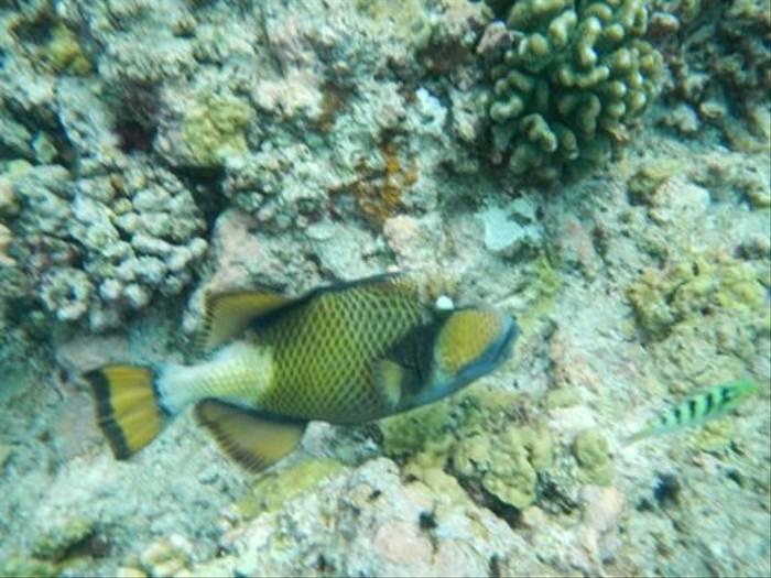 Titan Triggerfish (Kerrie Porteous)