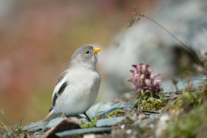 White Winged Snowfinch Shutterstock 384822166