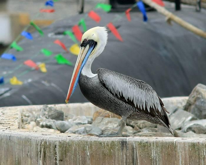 Peruvian Pelican (Robert Davidson).JPG