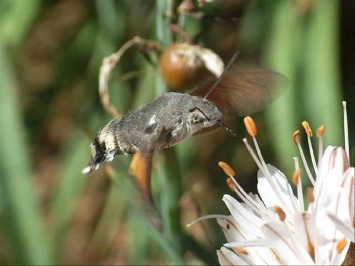 Hummingbird Hawk-moth (Toby Abrehart)