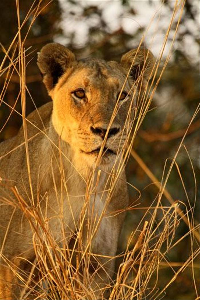 Lioness (Bret Charman)