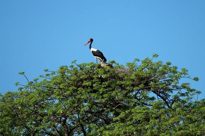 Stork (Nick Scarle)