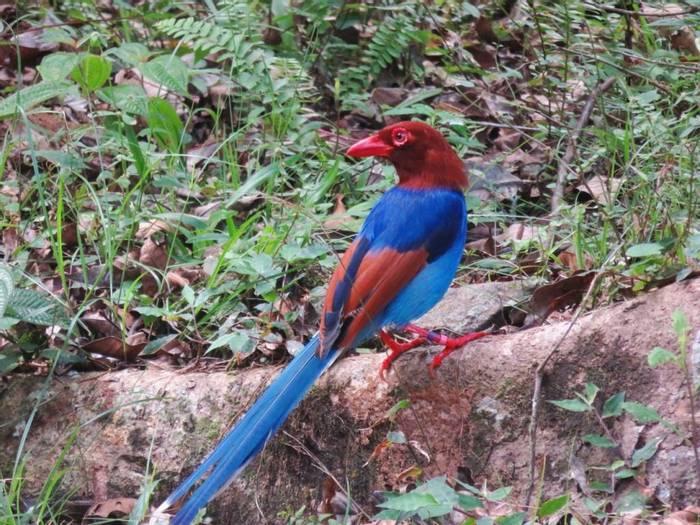 Blue Magpie (David Hartill)