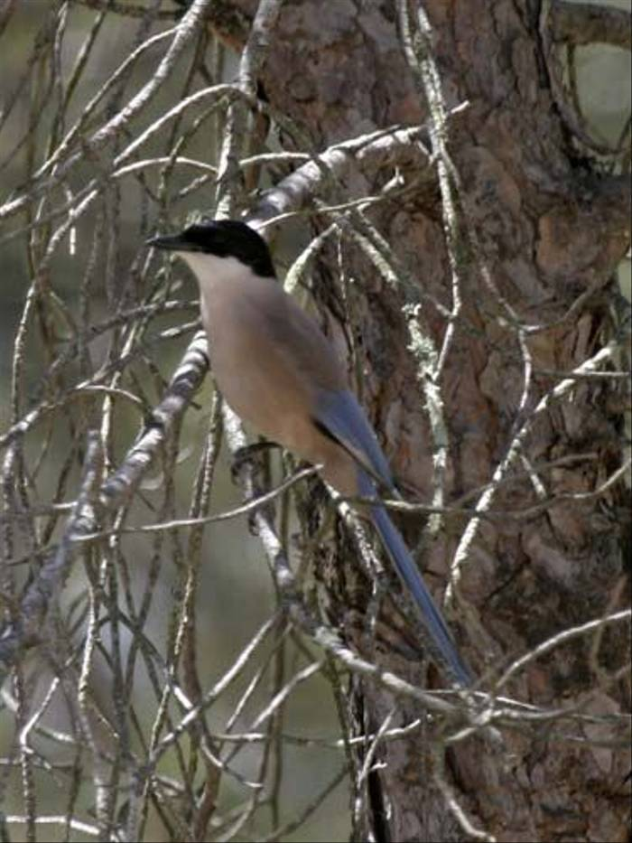 Azure-winged Magpie (Peter Dunn)