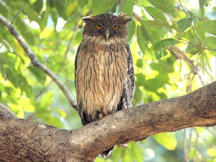 Brown Fish Owl (Julia Casson)